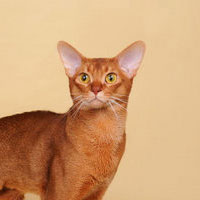 Best Cat in Championship - GC, BW, NW INDIABI HELIO II OF GREENVILLE - Ow: Kira & Vasil Butorin
