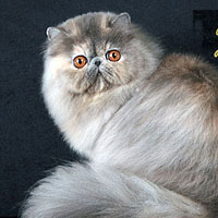 11th Best Cat in Championship - GC, DW LTCH ULTRAVIOLET - Br/Ow: Elena Tchumakova