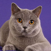 12th Best Cat in Championship - GC, DW ATZELHOF'S MISTY BLUE - Br/Ow: Michael Hans Schleissner