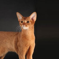 13th Best Cat in Championship - GC, DW ABYLIFE'S TOM SAWYER - Ow: Irina Ivanova
