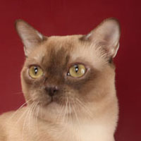 14th Best Cat in Championship - GC, DW MOUSE ISLAND'S MARCEL OF LYUBOBURM - Ow: Natalya Gnatyuk